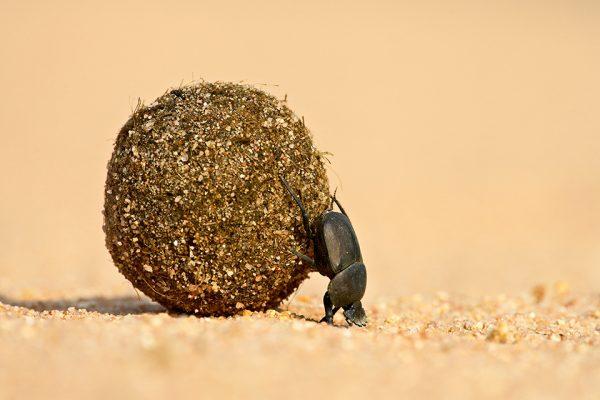 24/06/2007, Maasai Mara, Kenya --- Dung beetle pushing a ball of dung, Masai Mara National Reserve, Kenya, East Africa, Africa --- Image by © James Hager/Robert Harding World Imagery/Corbis 42-21114429
