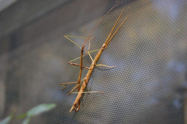 """Bức ảnh """"True love"""" về một đôi bọ que Necroscia sparaxes đang ôm chặt lấy nhau. Ảnh: Simplydiscus.com"""
