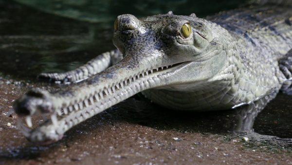 """Cá sấu Gharial- 7 """"quái vật"""" nhìn đáng sợ nhưng gần như vô hại"""