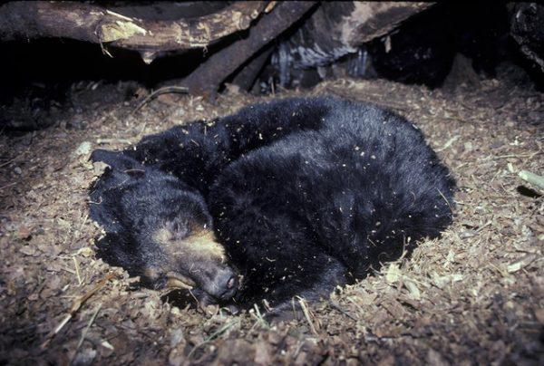 Gấu ngủ đông. Ảnh minh họa
