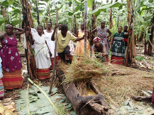 Tiếp đó, họ phủ thân cây lúa miến lên và bắt đầu giẫm nát.