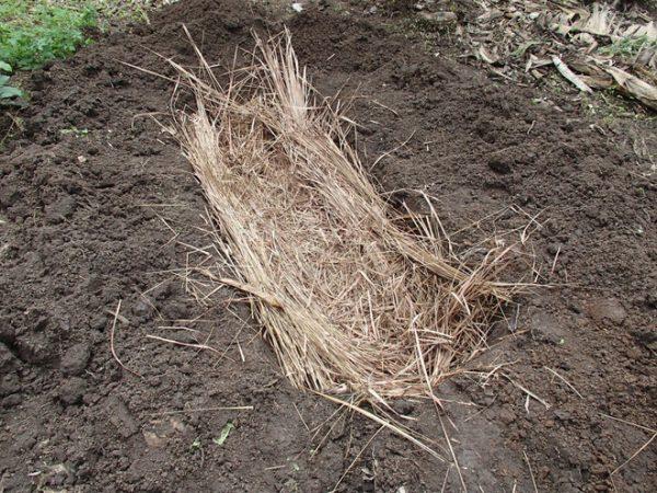 Cuối cùng, họ đặt cả thân cây gỗ xuống một cái hố đào sẵn và phủ rơm lên để nó lên men. Khi hỗn hợp đã lên men vừa đủ, người ta sẽ lọc lấy nước.