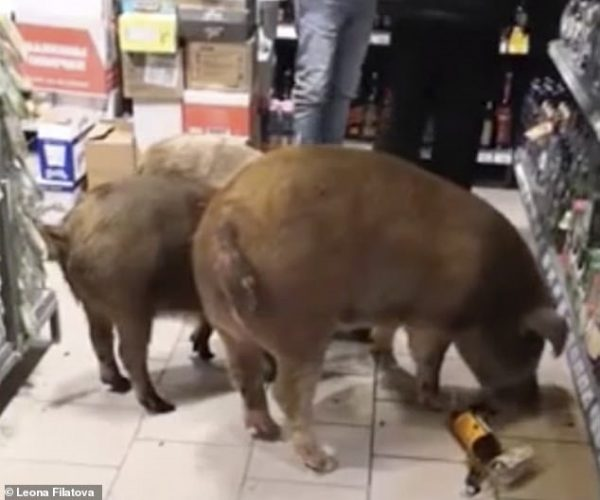 Ba con lợn bên trong cửa hàng trang hoàng rực rỡ dịp nghỉ lễ. Ảnh: Dailymail