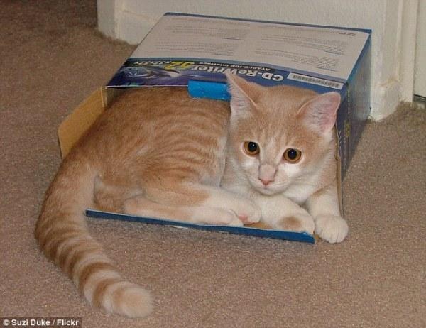 Tại sao mèo thích những chiếc hộp?