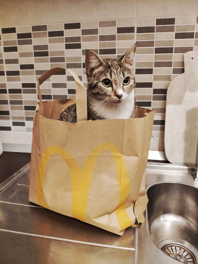 Khoa học giải thích: Tại sao lũ mèo thích hộp?