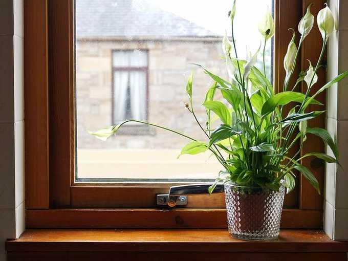 Cây trồng ngày Tết thanh lọc không khí: Cây lan ý