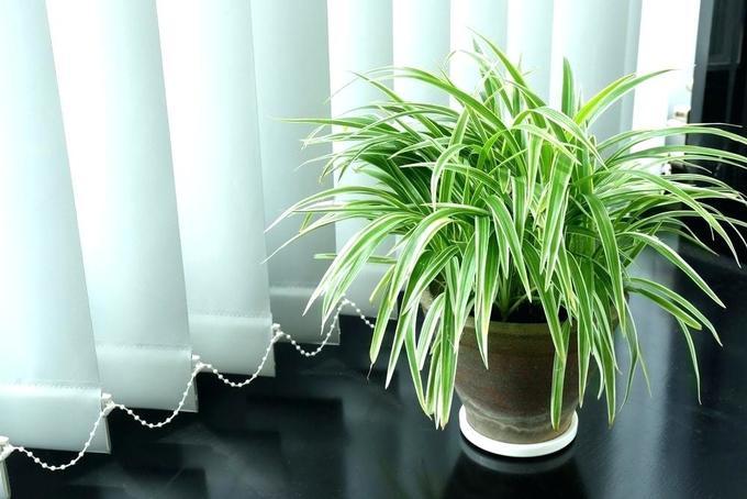 Cây trồng ngày Tết thanh lọc không khí: Cây dây nhện