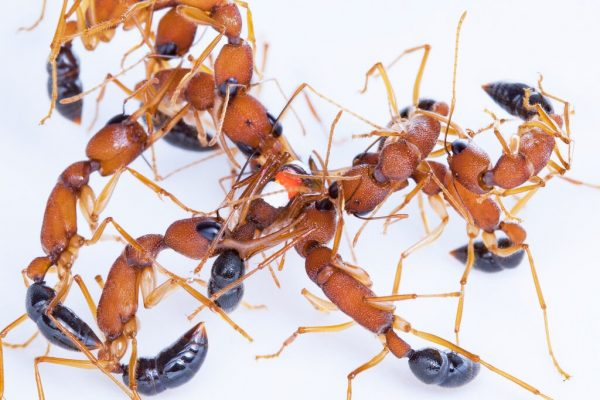 Trong khi ở các đàn kiến khác, kiến chúa được sinh ra, kiến nhảy Ấn Độ tranh giành cơ hội làm Kiến chúa. Ảnh...Clint Penick | nytimes.com