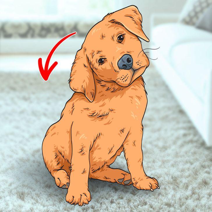 Tại sao chó nghiêng đầu khi chúng lắng nghe bạn?! Ảnh brightside.me