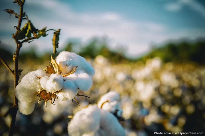 Những điều thú vị về bông (Cotton)