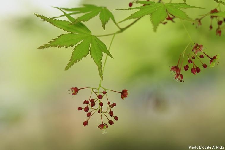 Hoa của cây phong