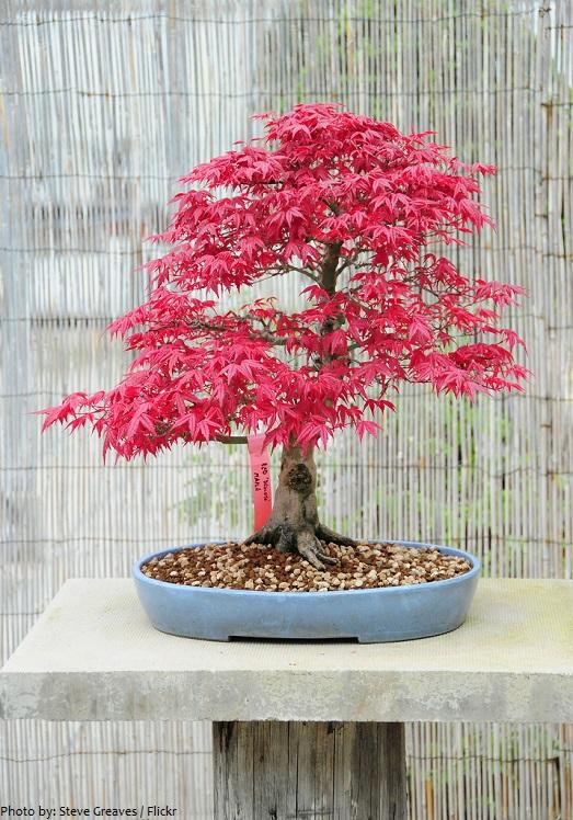 Phong là một lựa chọn phổ biến cho nghệ thuật bonsai