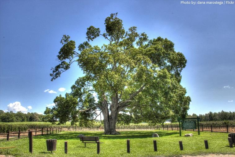 Một cây phong lớn và có hình dạng kỳ lạ và được cho là ít nhất 500 tuổi, đây là cây phong lâu đời nhất ở Canada