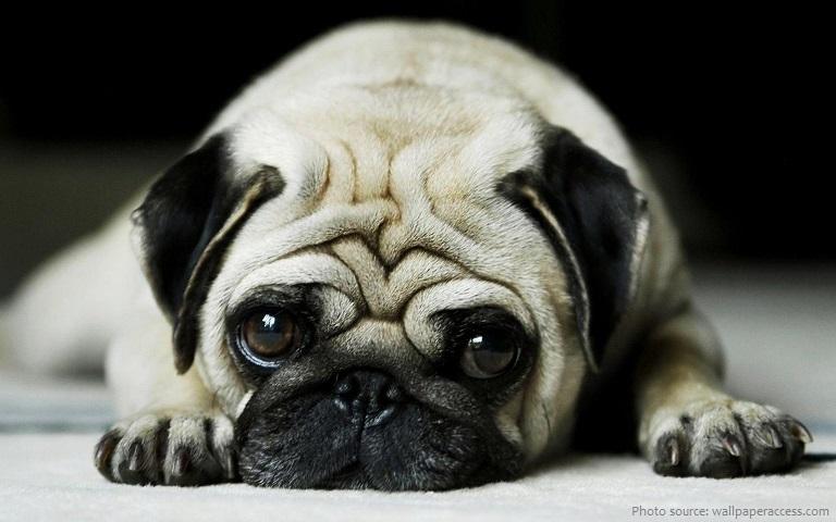 Những điều thú vị về giống chó Pug