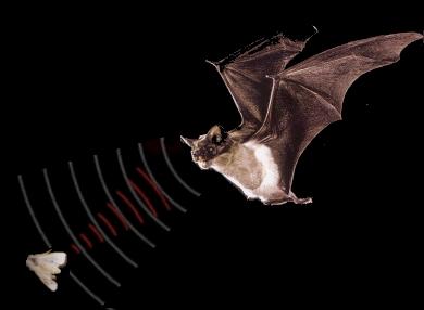 Dơi sử dụng sóng siêu âm để phát hiện mồi hoặc vật cản