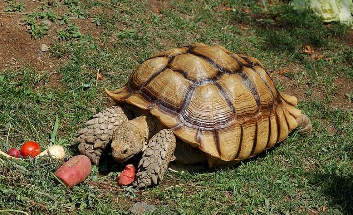 Rùa Sulcatas