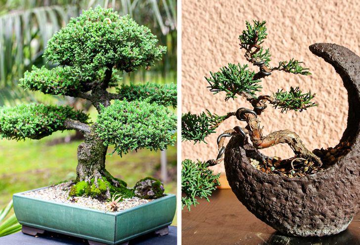 Cây bách xù bonsai