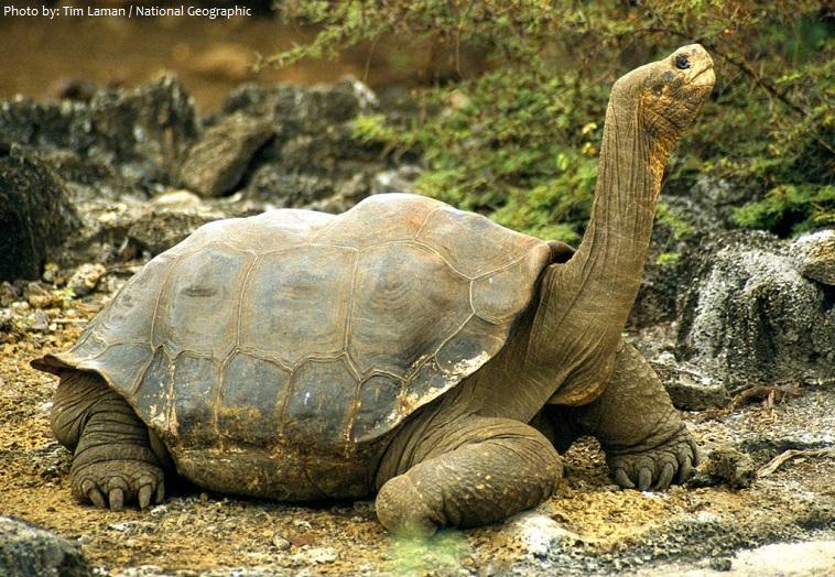 Một số dòng rùa đã phát triển độc lập với kích thước cơ thể rất lớn