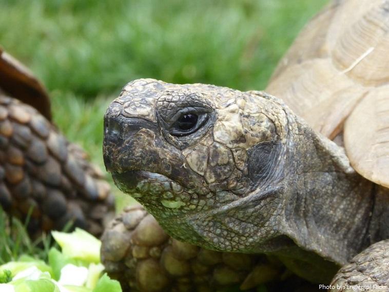 Rùa cạn có tính cách điềm tĩnh và di chuyển rất chậm