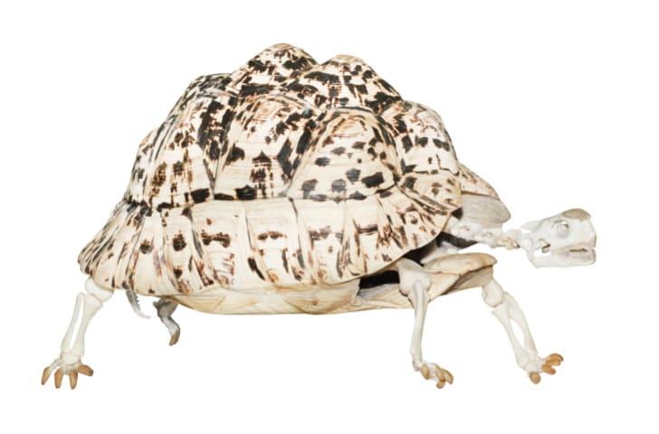 Rùa có cả bộ xương ngoài và bộ xương trong