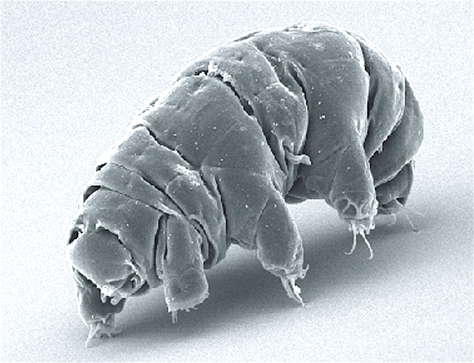 Hình ảnh SEM của Milnesium tardigradum ở trạng thái hoạt động