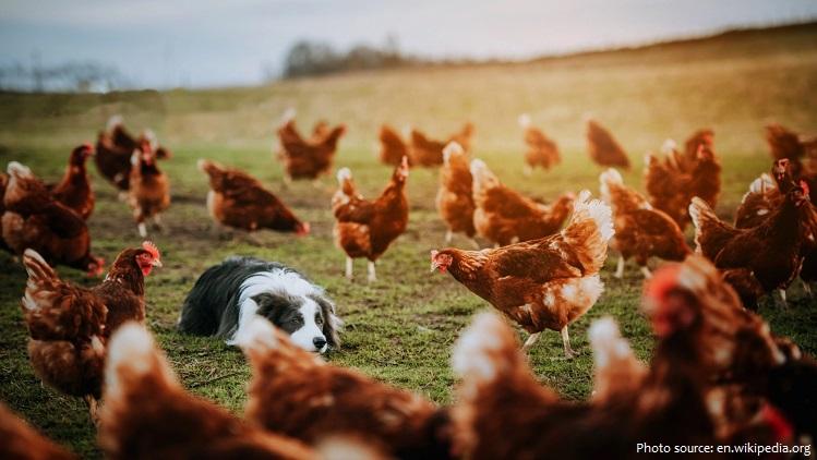 Sự thật thú vị về loài gà