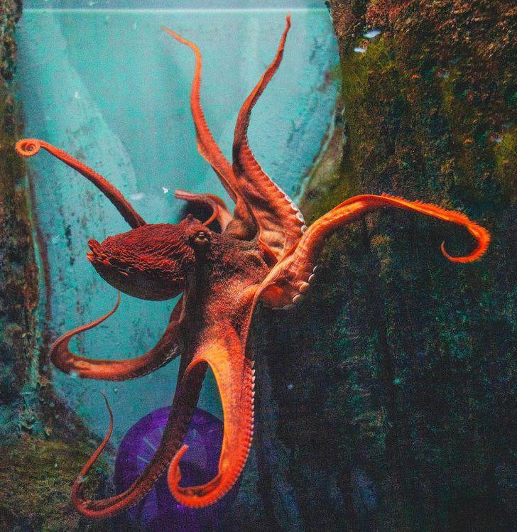 Một con bạch tuộc khổng lồ có thể chui mình qua một cái lỗ.