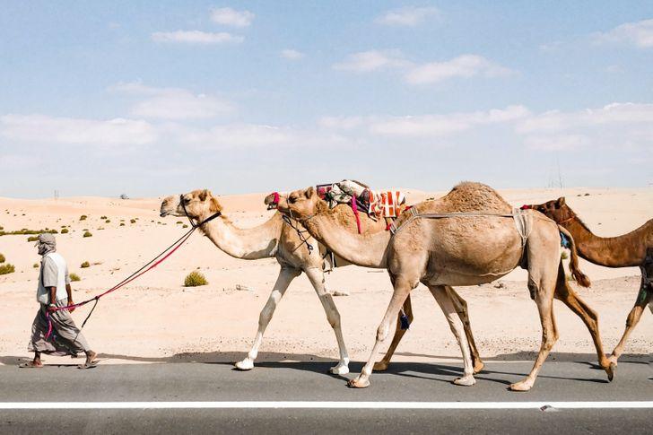 Ả Rập Xê Út mua lạc đà và cát từ Australia
