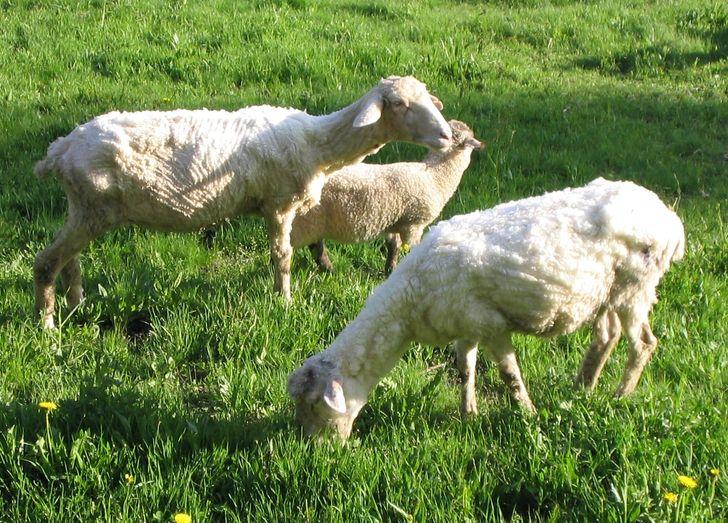 Thiếu lông khiến cừu đánh nhau.