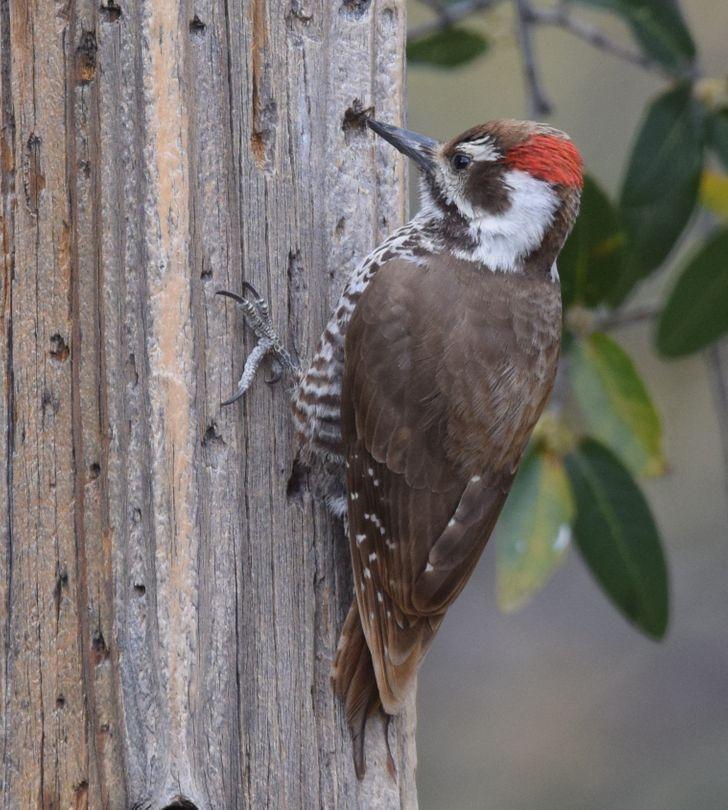 Chim gõ kiến không bị thương ở đầu do có lưỡi bảo vệ.