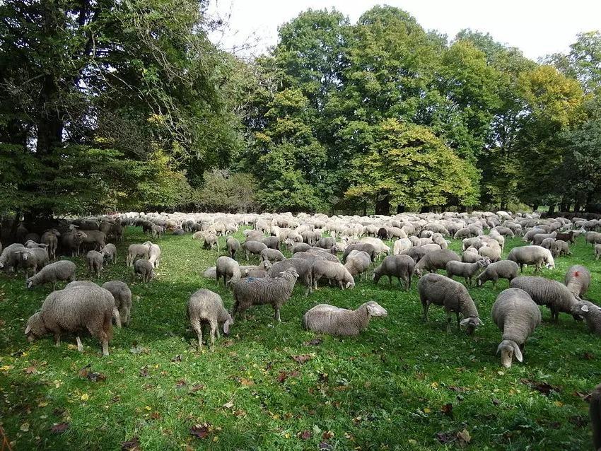 Những con cừu được chăn thả ở Englischer Garten ở Munich để cung cấp khả năng thụ tinh tự nhiên.  Hình ảnh: Adam Jones, Ph.D./Creative Commons