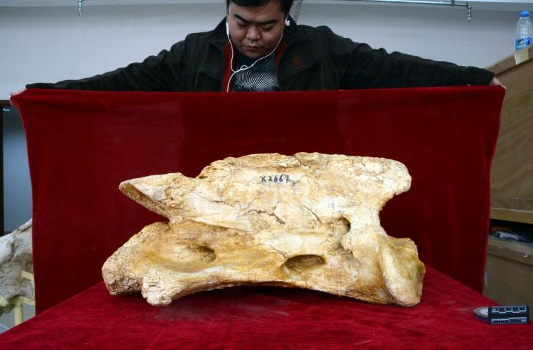 Một trục khổng lồ của tê giác khổng lồ Paraceratherium linxiaense so với kỹ thuật viên.
