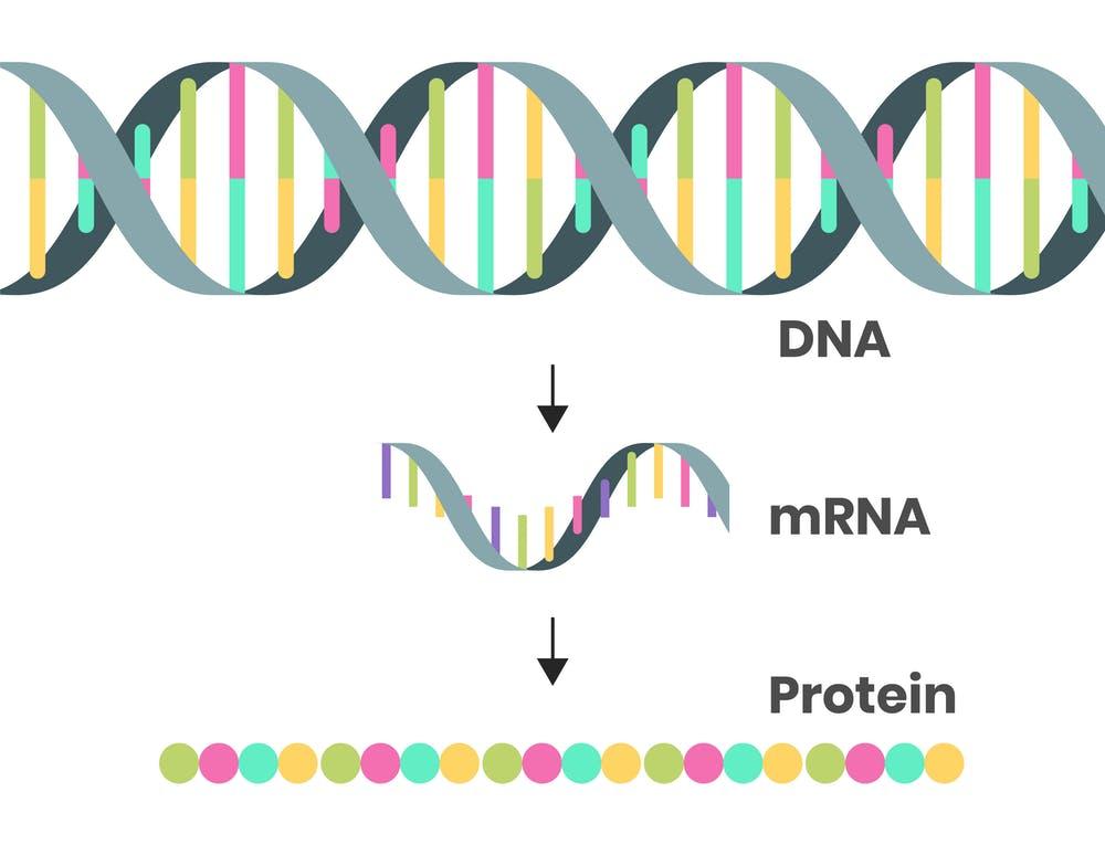 Trình tự DNA sợi kép được phiên mã thành mã mRNA để các hướng dẫn có thể được dịch mã thành protein. Alkov / iStock qua Getty Images Plus