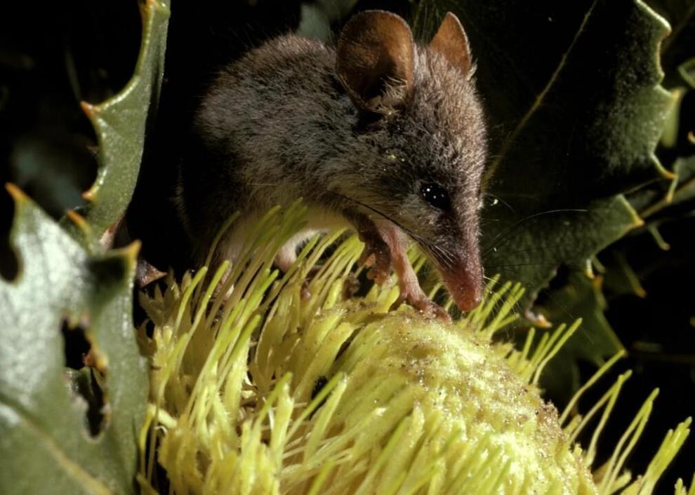 Ngọt ngào là cuộc sống của Honey Possum. Nó có thể uống 7ml mật hoa mỗi ngày, giống như một người uống 50 lít nước ngọt !. Ảnh: Auscape / Universal Images Group // Getty Images