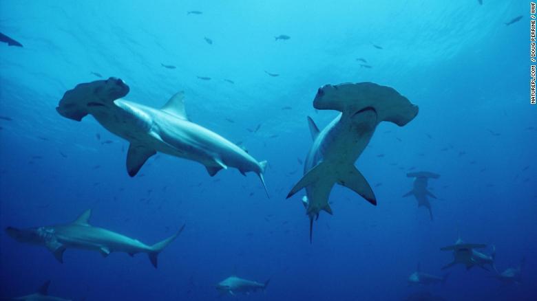 Dân số cá mập đầu búa ở Biển Cortez, giữa Baja California và đất liền Mexico, đã giảm mạnh do bị đánh bắt quá mức. Ảnh: cnn.com