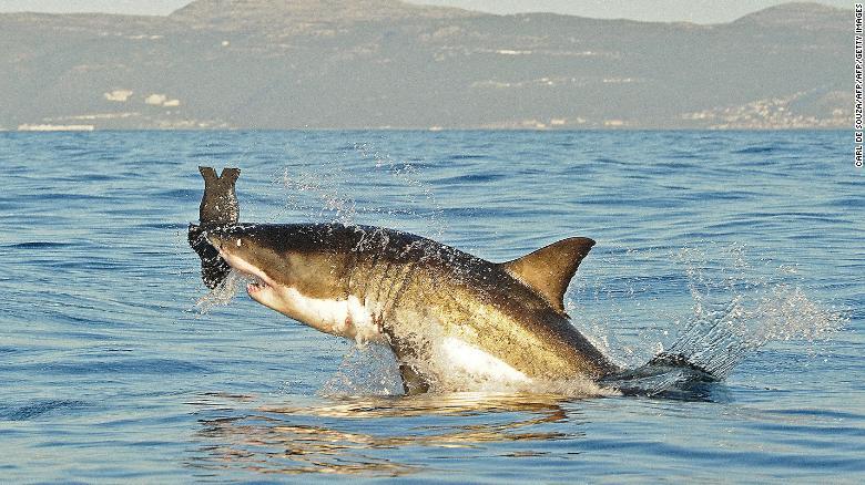 Hình ảnh từ tháng 7 năm 2010 này cho thấy một con cá mập trắng lớn đang nhảy ra khỏi mặt nước khi nó cắn một con hải cẩu mồi nhân tạo gần Vịnh False. Ảnh CNN