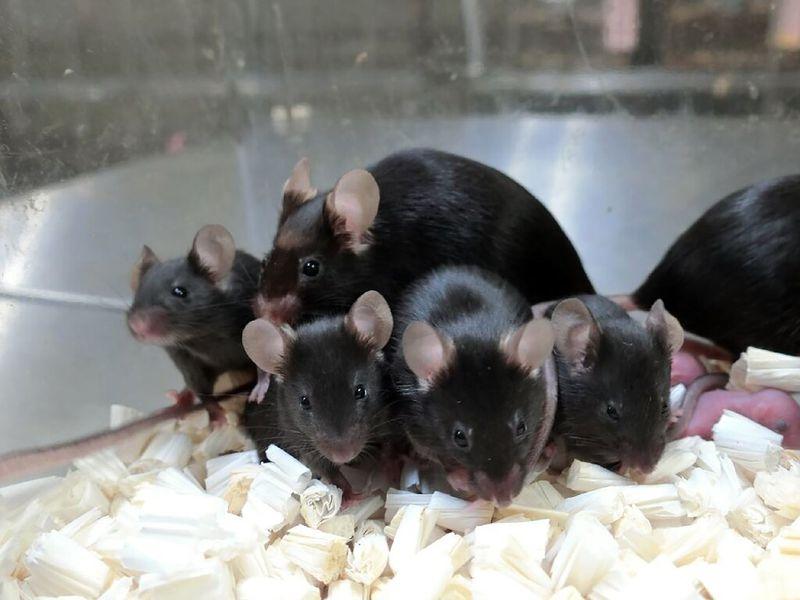 Chuột con được sinh ra từ tinh trùng chuột đông khô - đã được lưu trữ trên Trạm vũ trụ quốc tế trong vòng 6 năm. Trong bức hình là một số trong số những con chuột đó và con của chúng  (Sayaka Wakayama, Đại học Yamanashi)