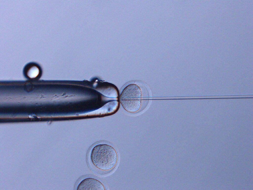 Sau thời gian tồn tại trong không gian, tinh trùng chuột được tiêm vào tế bào trứng của con cái. (Sayaka Wakayama, Đại học Yamanashi)
