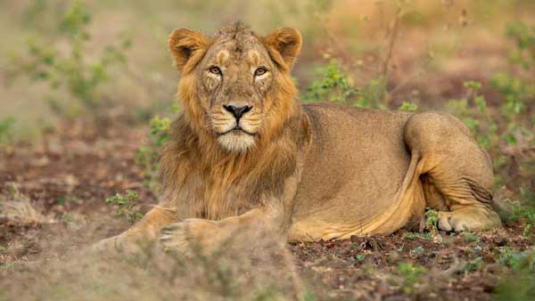 Sư tử. Ảnh: Narendramodi