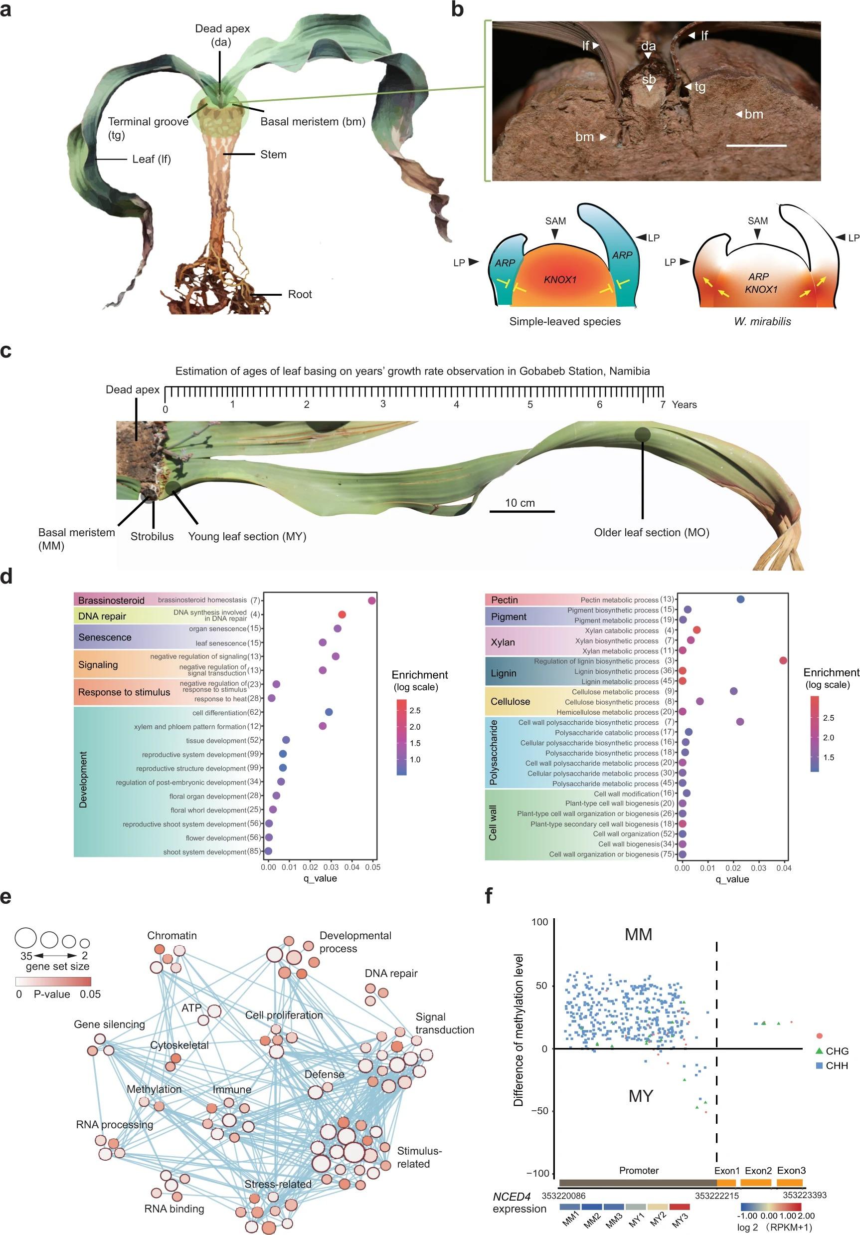 So sánh hệ thống phiên mã giữa mô phân sinh và mô sinh dưỡng. Một hình ảnh cho thấy tính năng chính của một cây Welwitschia chỉ ra vị trí của các mô phân sinh cơ bản... Ảnh: nature.com