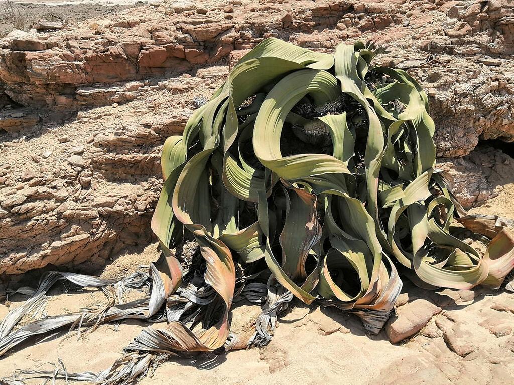 Welwitschia, một loại cây hai lá mầm mọc ở các vùng của sa mạc Namib ở miền nam châu Phi, có thể sống hơn 1.000 năm.Tín dụng...Tao Wen