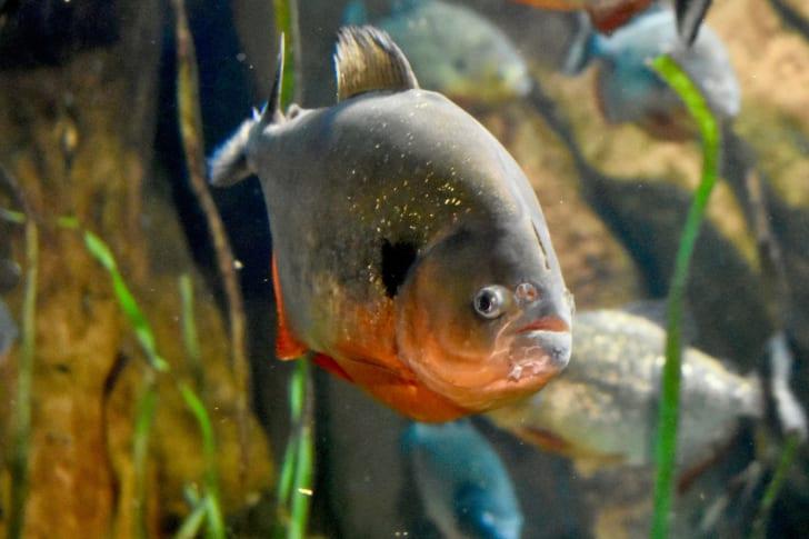Cá Piranha không thực sự xứng đáng với danh tiếng khát máu của chúng. SEAN DAVIS / ISTOCK QUA GETTY IMAGES