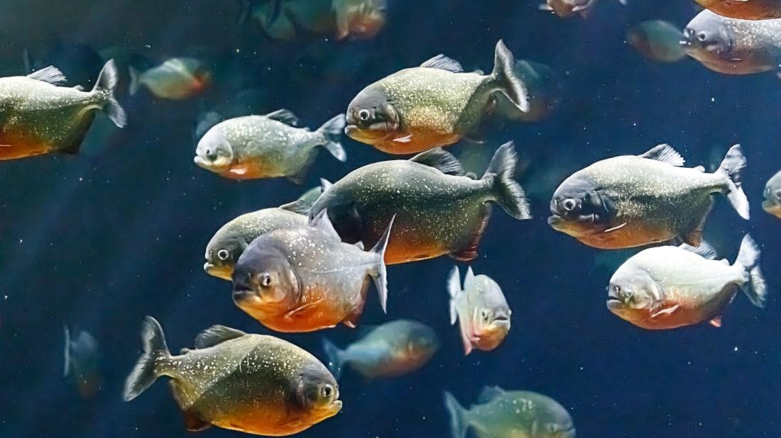 Cá Piranha là loài yêu thích của đám đông trong bể cá. FLYV43 / ISTOCK QUA GETTY IMAGES