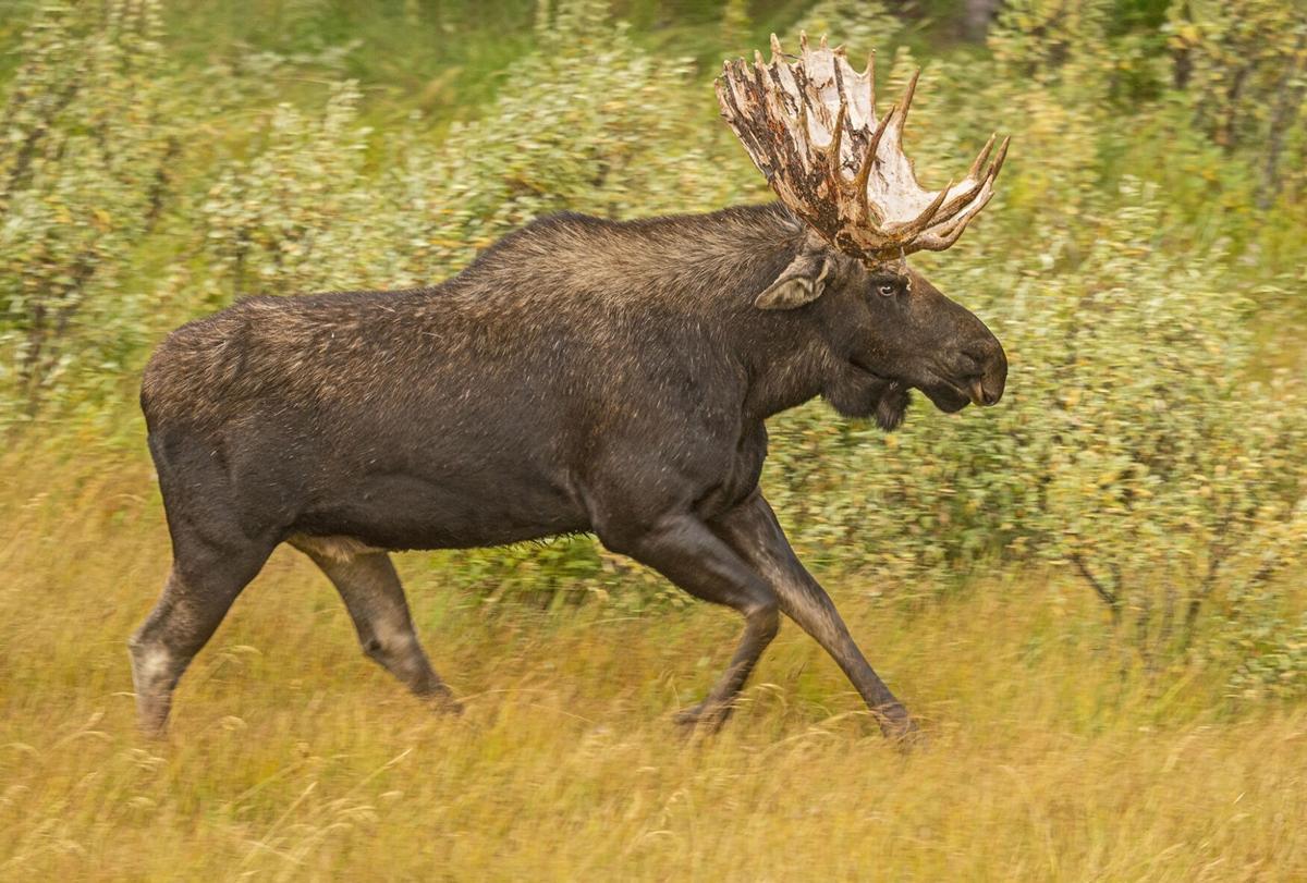 Một con nai sừng tấm (Alces alces), chạy qua những sắc màu mùa thu vào một buổi chiều gió, ẩm ướt để nói với một con bò đực khác rằng nó đã ở đó và sẵn sàng bảo vệ lãnh thổ ở công viên quốc gia Grand Teton, Wyoming. Ảnh: Dawn Wilson