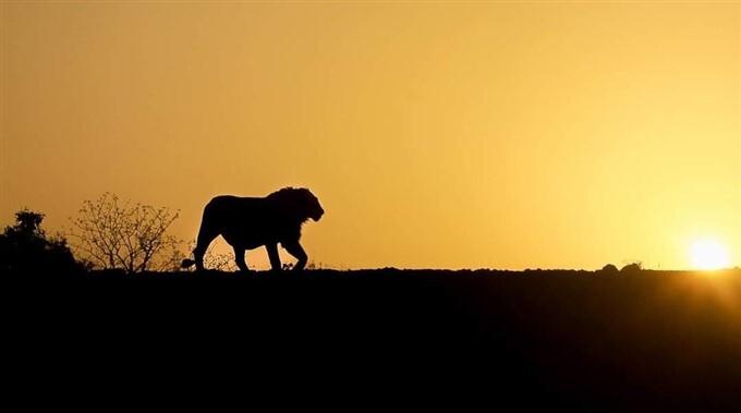 Sư tử sống trong niềm kiêu hãnh