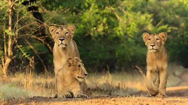 Sư tử cái là những kẻ săn mồi chính trong bầy Sư tử