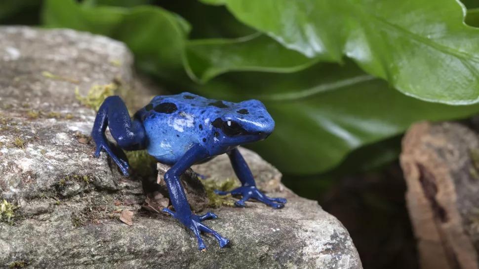 Ếch phi tiêu độc, màu xanh sáng phát ra cảnh báo cho những kẻ săn mồi rằng con vật này có chất độc. (Ảnh: Lillian King / Getty Images)