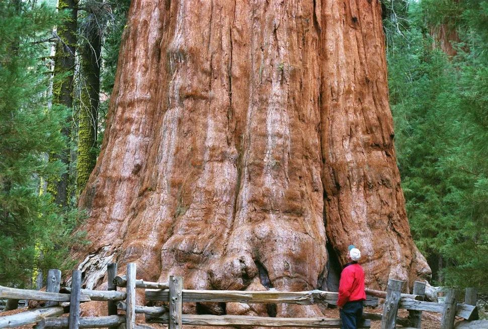Cây General Sherman ở Vườn quốc gia Sequoia của California là cây lớn nhất thế giới tính theo khối lượng. (Ảnh: Ron Cobb / St. Louis Post-Dispatch / Tribune News Service qua Getty Images)