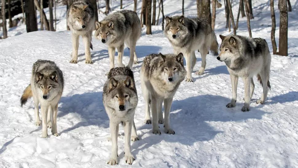 Một bầy sói gỗ đứng trong tuyết. Ảnh: Jim Cumming qua Getty Images